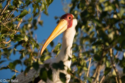 Yellow-billed Stork, Chobe River Boat Trip