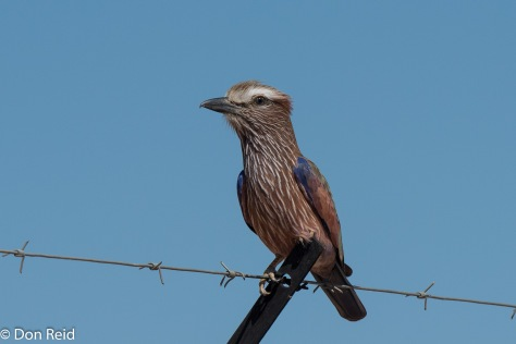 Purple Roller, Kasane