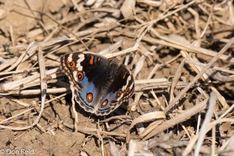 Butterfly ? , Onverwacht farm, Vryheid