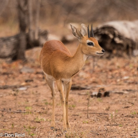 Steenbok, KNP