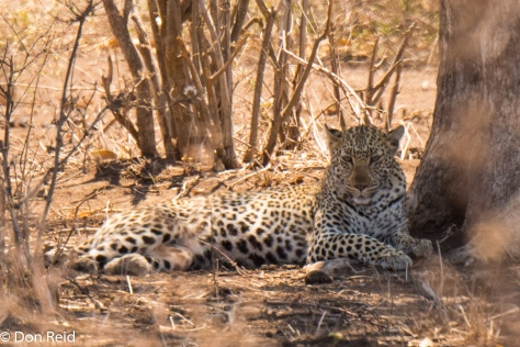 Leopard, Timbavati KNP