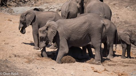 Elephants in dry river bed, KNP
