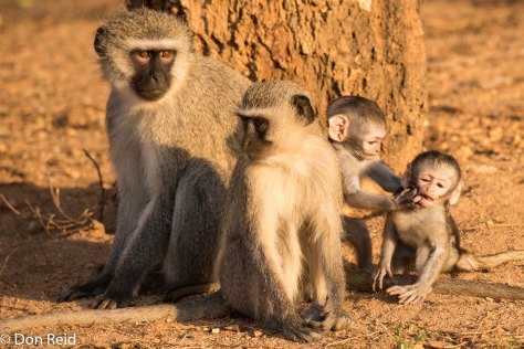 Vervet Monkeys, Pretoriuskop KNP