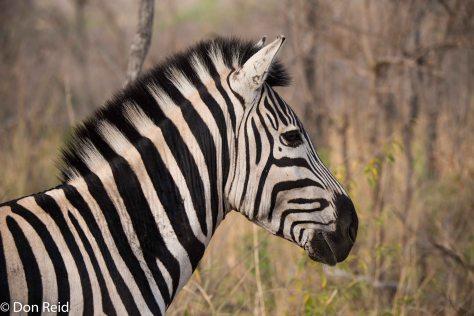 Zebra, Pretoriuskop KNP