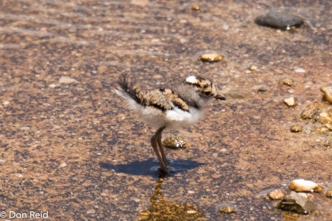Three Banded Plover (Juvenile), Herbertsdale area