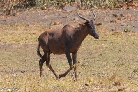 Tsessebe near Mopani