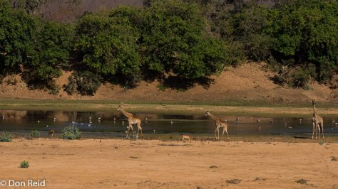 Giraffes in river, Letaba