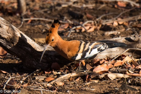 African Hoopoe, Olifants river