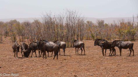 Blue Wildebeest, Mopani