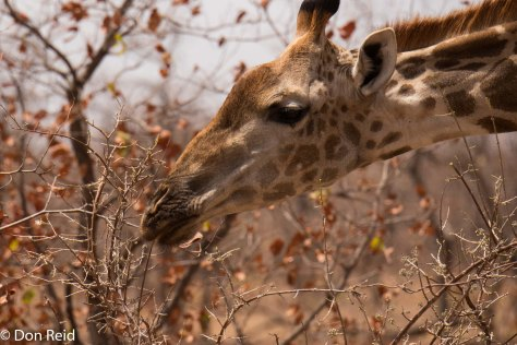 Giraffe, Letaba-Mopani road KNP