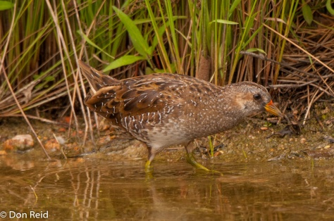 Spotted Crake, Waterfall Estate