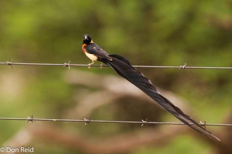 123 Long-tailed Paradise Whydah, Mkhombo Dam (925)