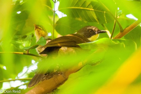 Yellow-throated Leaflove, Caprivi Houseboat Lodge