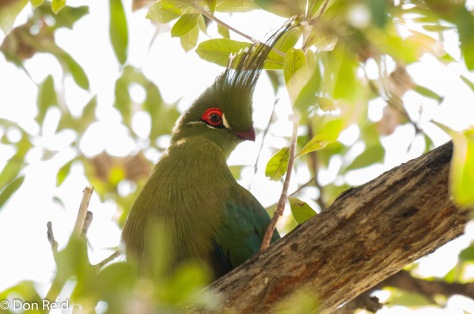 Schalow's Turaco, Caprivi Houseboat Lodge