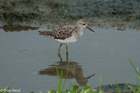 Wood Sandpiper, Kasane Water Treatment