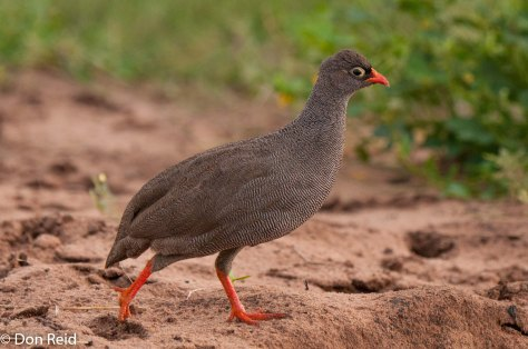 Red-billed Spurfowl, Chobe NP