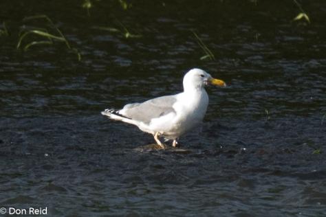 Caspian Gull, Danube