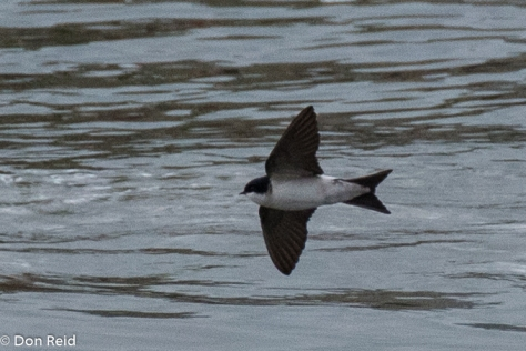 Common House Martin, Danube