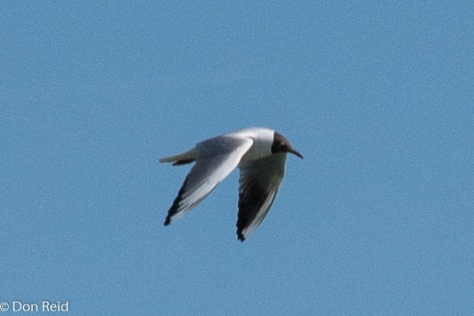 Black-headed Gull, Passau