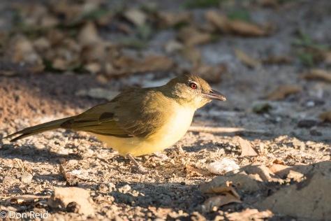 Yellow-bellied Greenbul, Thebe Safari Lodge
