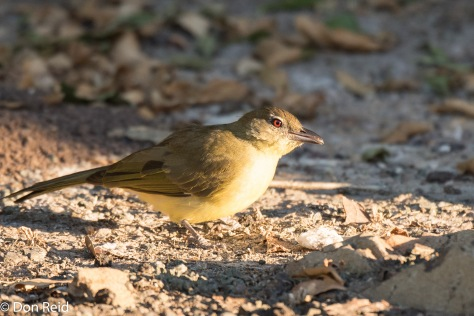 Yellow-bellied Greenbul, Thebe Safari Lodge