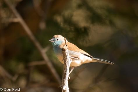 Blue Waxbill, Seboba Nature Park Kasane
