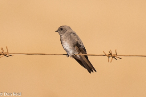 Brown-throated Martin, Delmas area