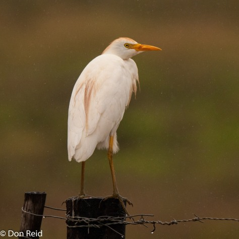 Cattle Egret, Herbertsdale south