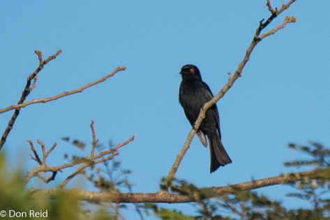 Square-tailed Drongo, Ongoye Forest Reserve