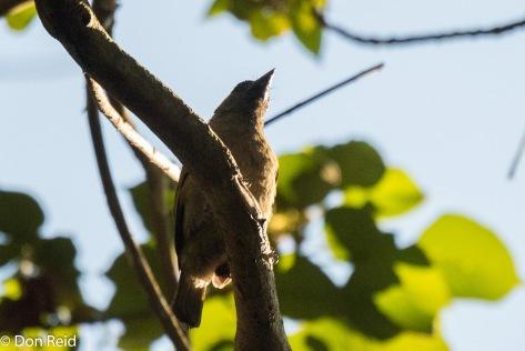 Green Barbet, Ongoye Forest Reserve