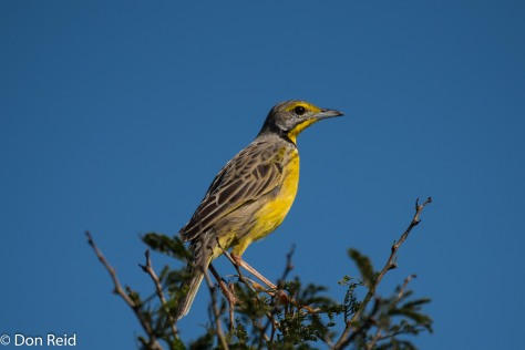 Yellow-throated Longclaw, Mtunzini