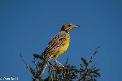 Yellow-throated Longclaw, Mtunzini