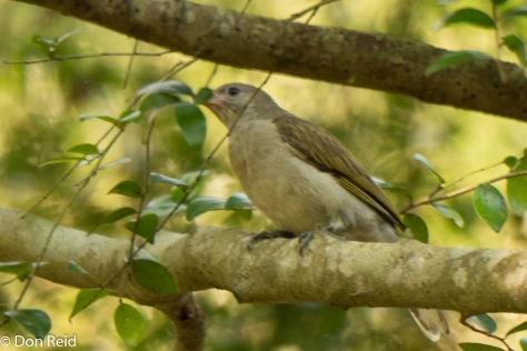 Scaly-throated Honeyguide, Amitigulu Nature Reserve