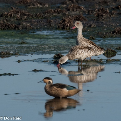 Cape and Hottentot Teal, Sappi Mill KwaDakuza