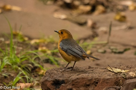 Red-capped Robin-Chat, Pigeon Valley