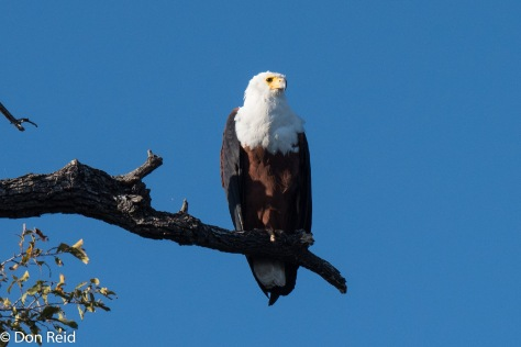 African Fish-Eagle, Chobe River Boat Trip