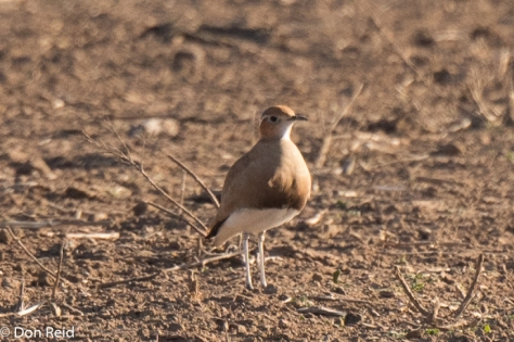 Burchell's Courser, Heilbron area