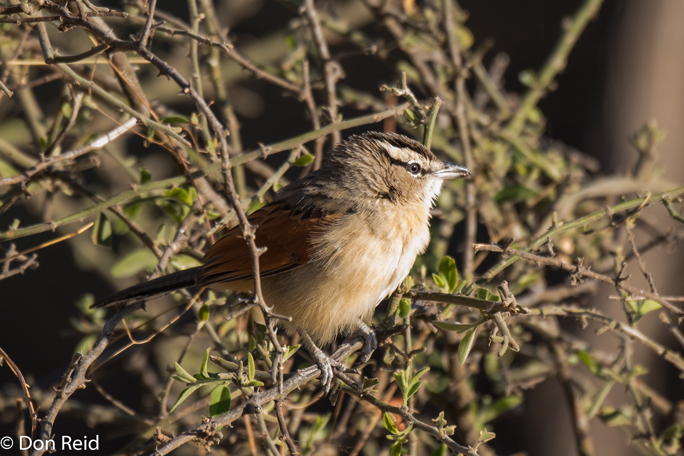 Brown-crowned Tchagra, Chobe Game Reserve