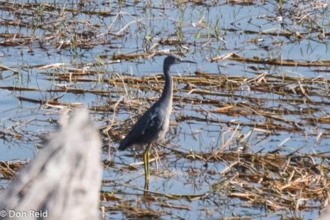 Slaty Egret, Chobe Game Reserve