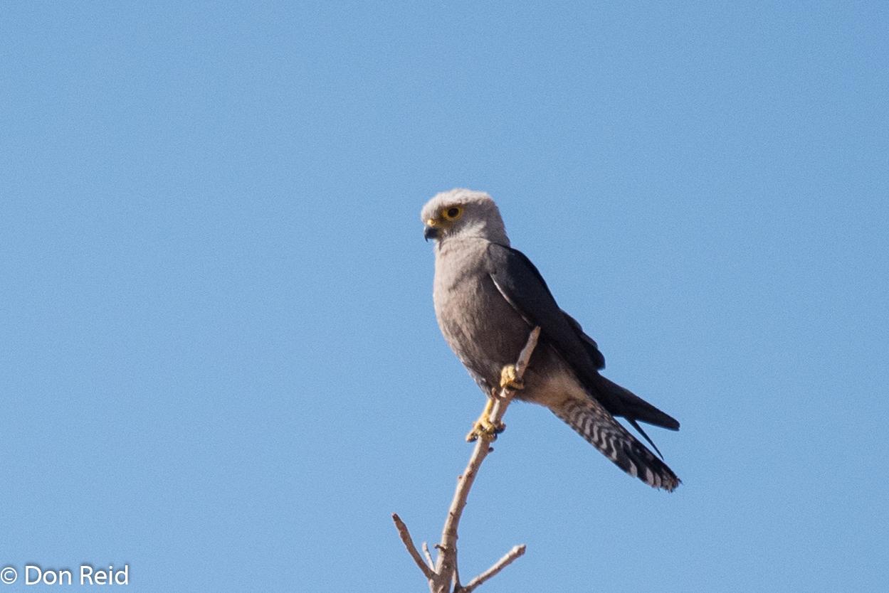 Dickinson's Kestrel, Chobe Game Reserve