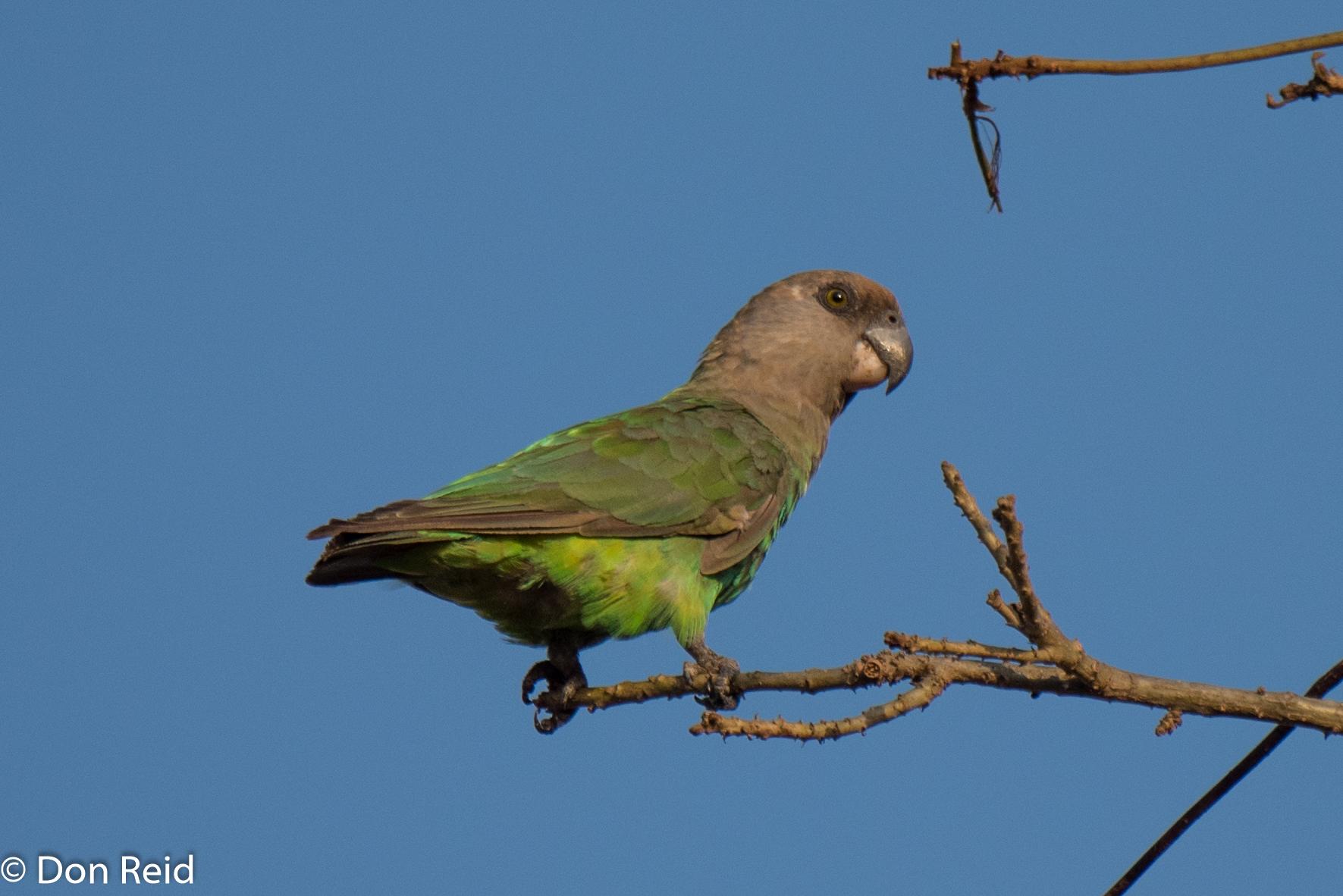Brownheaded Parrot, Pretoriuskop KNP