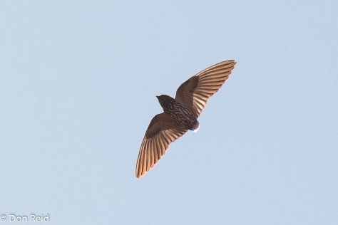 Lesser Striped Swallow (tailless), Roodeplaat NR