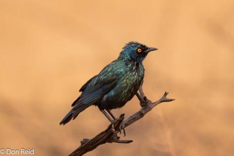 Cape Glossy Starling, Mabusa NR