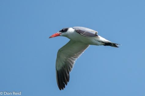 Caspian Tern, Roodeplaat Dam