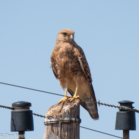 Greater Kestrel, Settlers area, Limpopo