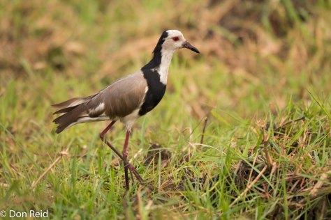 Long-toed Lapwing, Chobe River trip
