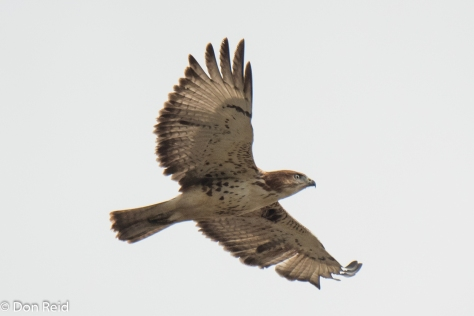 Red-necked Buzzard, Stilbaai Twitch