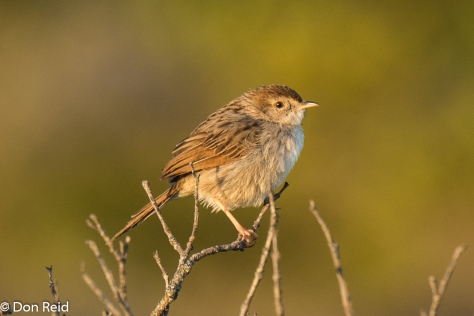 Grey-backed Cisticola, Mossel Bay