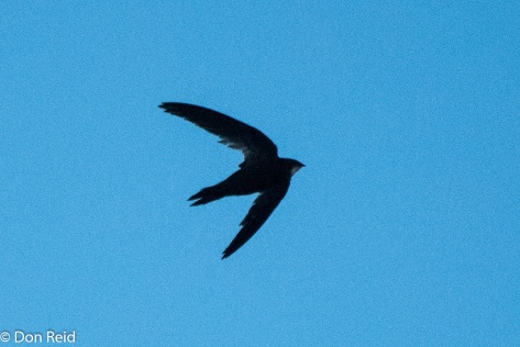 African Black Swift, Mossel Bay