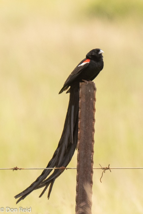 Long-tailed Widow (Langstertflap) showing why it has that name